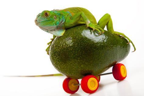 Green Iguana on Fruit Mobile Photographic Print