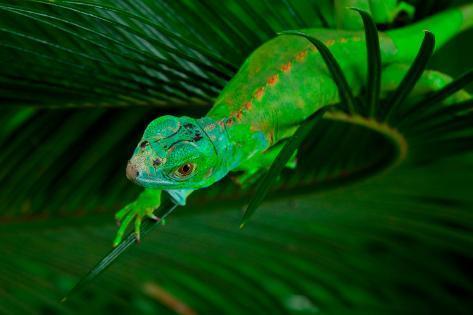 Green Iguana on Leaf Photographic Print