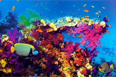 Fisk och koraller Poster