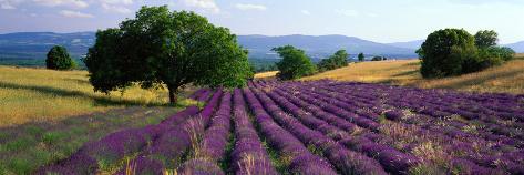Flores en el campo, campo de lavanda, La Drôme Provenza, Francia Lámina fotográfica