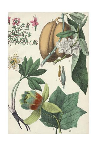 Flowers with Large Seed Pods Art Print