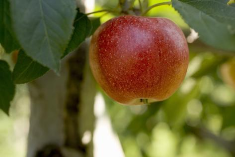 A Gala Apple on the Tree Photographic Print