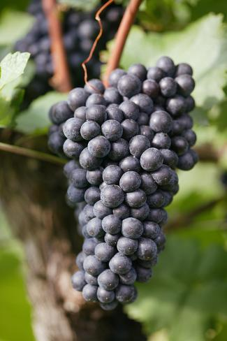 Red Wine Grapes on the Vine Photographic Print