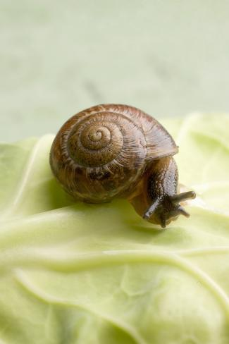 Snail on White Cabbage Leaf (Close-Up) Photographic Print