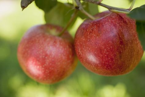 Two Gala Apples on a Branch Photographic Print