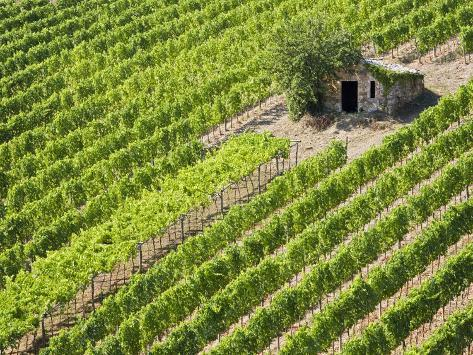 Italy, Tuscany, Vineyard with cabin Stretched Canvas Print