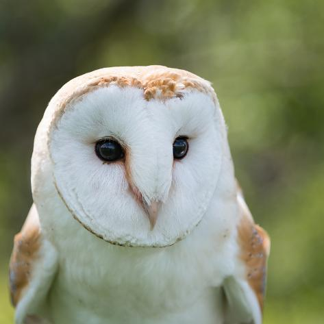Barn Owl close Up Photographic Print