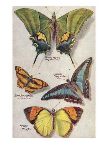 Four Butterflies Art Print