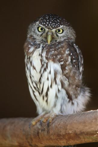 Pearl-Spotted Owl Bird Photographic Print