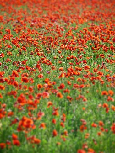 Italy, Umbria, Perugia District, Poppy Field Photographic Print