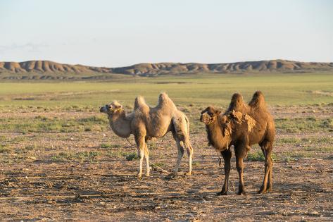 two camels in gobi desert ulziit middle gobi province mongolia