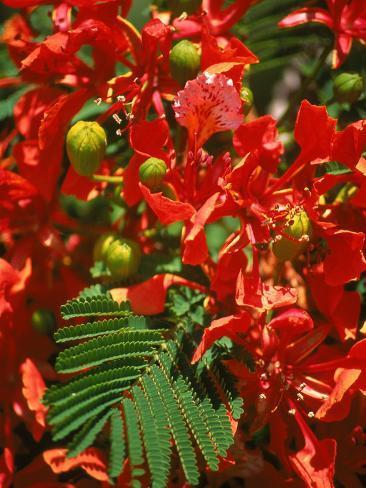 Poinciana Tree Blossoms, Bermuda Photographic Print