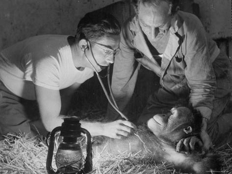Orangutan Being Treated by Circus Veterinarian Photographic Print