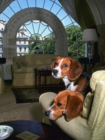 Pet Beagles of President Lyndon B. Johnson, Sitting Together in White House Sitting Room Photographic Print