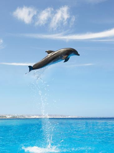 Dolphin jumping high up in the air Stretched Canvas Print