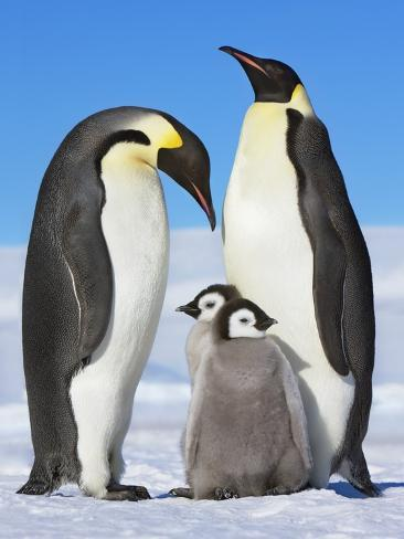 Emperor penguins with chicks Photographic Print