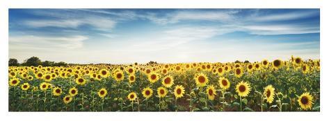 Sunflower field, Plateau Valensole, Provence, France Giclee Print