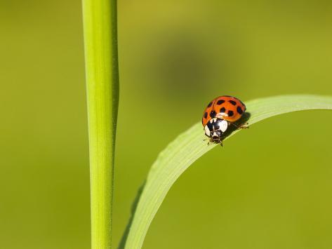 Asian lady beetle on blade of grass Photographic Print