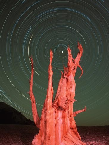 Star Trails and Bristlecone Pine Tree Photographic Print