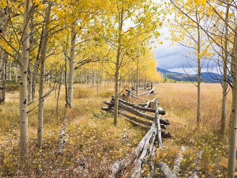 Wooden fence and Aspen forest in autumn Photographic Print