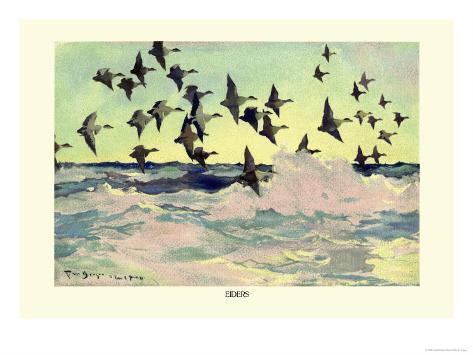Eiders Art Print
