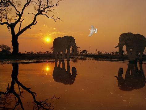 African Elephants, Loxodonta Africana, and Dove at Waterhole, Chobe National Park, Botswana Photographic Print
