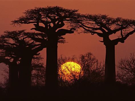 Baobabs in Winter, Adansonia Grandidieri, Western Madagascar Photographic Print