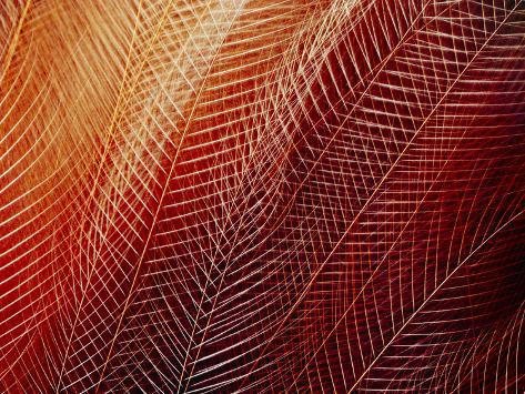 Greater Bird of Paradise Plumage, Paradisaea Apoda, Papua New Guinea Photographic Print