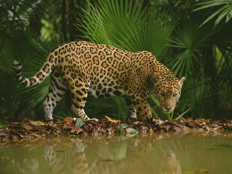 Jaguar at Waterhole, Panthera Onca, Belize Photographic Print