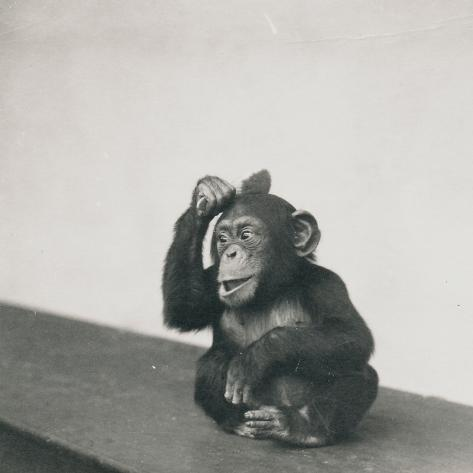 A Young Chimpanzee, Johnnie, Playing with a Brush, 1923 Photographic Print