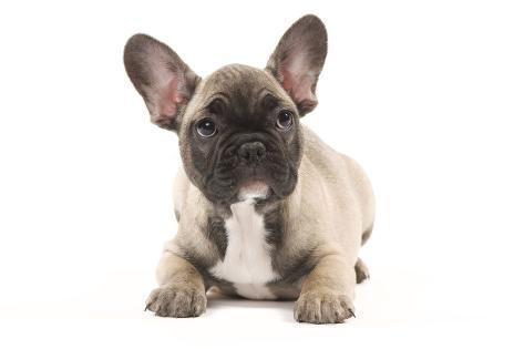 French Bulldog Puppy In Studio Fotoprint Bij Allpostersbe