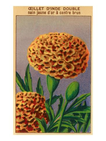 French Carnation of India Seed Packet Art Print