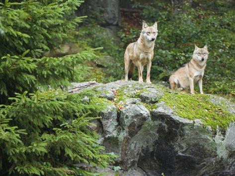 Gray Wolves (Canis Lupus), Bavarian Forest National Park, Germany, Europe Photographic Print