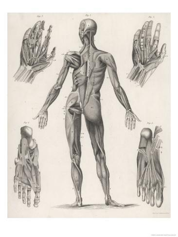 Showing Muscles of Body Hands and Feet Giclee Print
