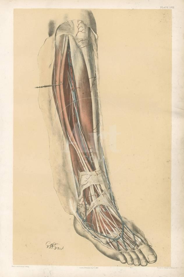 The Lower Limb. Front of the Leg and Dorsum of the Foot Giclee Print ...