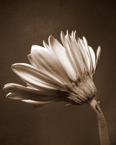 Sepia Flower II Art Print
