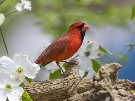 Close-up of Cardinal in Blooming Tree Photographic Print