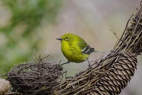 Pine warbler photographic print by gary carter at for Gary carter vet
