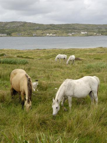 Connemara Ponies, County Galway, Connacht, Republic of Ireland Photographic Print