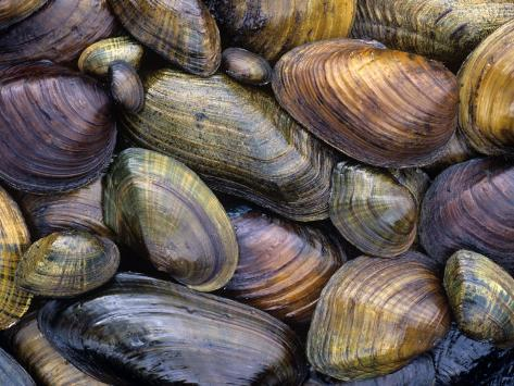 Freshwater Mussels from the Ohio River Drainage, USA Photographic Print