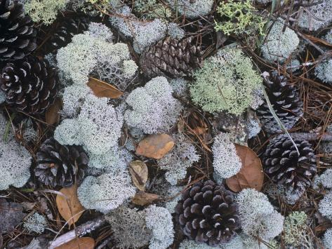 Reindeer Lichens, Cladonia, with Pine Cones on the Forest Floor, Florida, USA Stampa fotografica