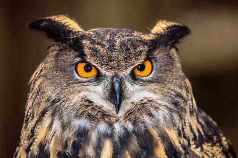 Eurasian Eagle Owl Photographic Print