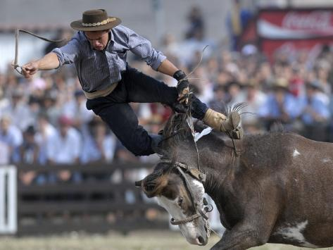gaucho or cowboy is thrown from a horse as he competes in a rodeo