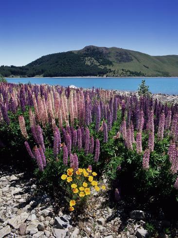 Wild Lupin Flowers (Lupinus) Beside Lake Tekapo, South Island, New Zealand Photographic Print