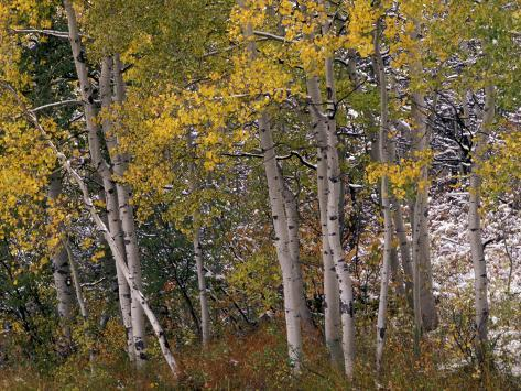 Fall Colors on Aspen Trees, Maroon Bells, Snowmass Wilderness, Colorado, USA Photographic Print