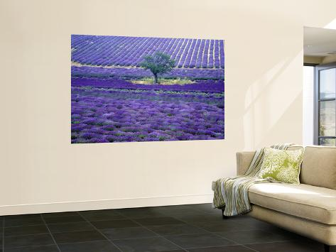 Lavender Fields, Vence, Provence, France Wall Mural