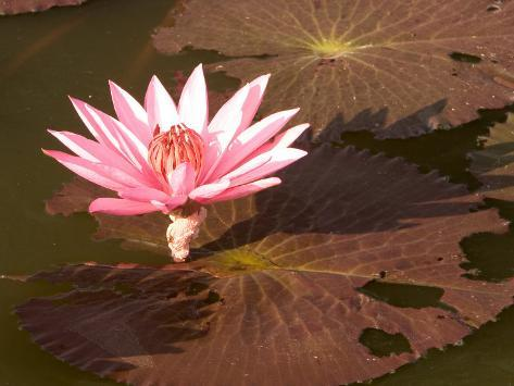 Lotus Flower in the Morning Light, Sukhothai, Thailand Photographic Print