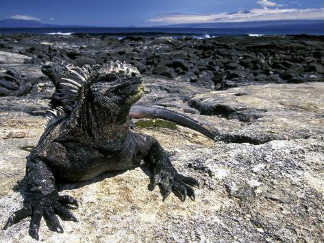Marine Iguana, Galapagos Islands, Ecuador Photographic Print