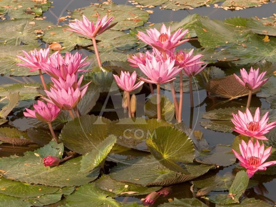 Pink lotus flower in the morning light thailand photographic print pink lotus flower in the morning light thailand photographic print by gavriel jecan at allposters mightylinksfo