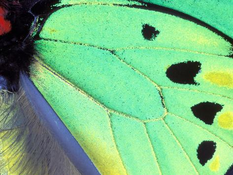 Poseidon (Green Butterfly), Papua New Guinea Photographic Print